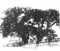 国泰寺の大樟樹(くすのき)